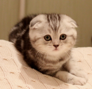 Photo №1. scottish fold - for sale in the city of Astana | 300$ | Announcement № 491