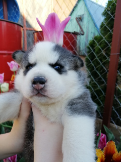 Photo №1. siberian husky - for sale in the city of Minsk | 300$ | Announcement № 2307