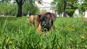 Photo №1. cane corso - for sale in the city of Москва | 484$ | Announcement № 6676