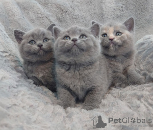 Photo №1. british shorthair - for sale in the city of Маркушовце | Is free | Announcement № 8696