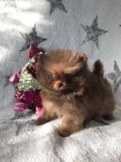 Photo №1. pomeranian - for sale in the city of Oświęcim | 1287$ | Announcement № 366