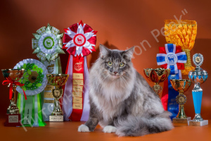 Photo №2 to announcement № 1221 for the sale of norwegian forest cat - buy in Russian Federation from nursery