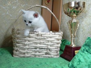 Photo №1. british shorthair - for sale in the city of Mogilyov | 272$ | Announcement № 6138