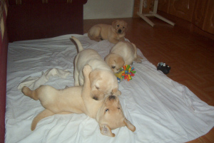 Photo №4. I will sell labrador retriever in the city of Lublin. private announcement - price - 553$