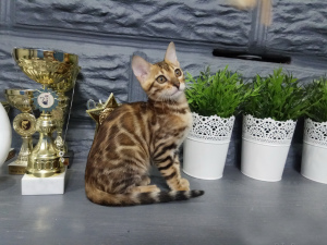 Photo №3. Kennel & quot; Wonderful cats & quot; offers to write on the kittens of. Belarus