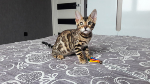 Photo №3. Bengal kitty. Belarus