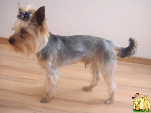 Photo №1. Mating service - breed: yorkshire terrier. Price - 255$