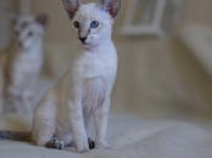 Photo №4. I will sell oriental shorthair in the city of Minsk. private announcement, breeder - price - 170$