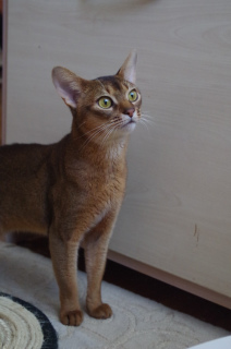 Photo №4. I will sell abyssinian cat in the city of Slutsk.  - price - 501$