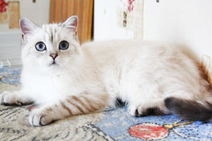 Photo №4. Mating bengal cat, maine coon, scottish straight, burmilla shorthair in Russian Federation. Announcement № 1024