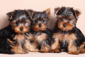 Photo №2 to announcement № 841 for the sale of yorkshire terrier - buy in Poland private announcement, from nursery