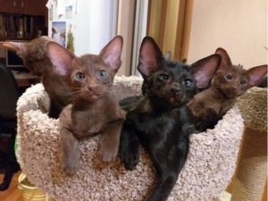 Photo №1. oriental shorthair - for sale in the city of St. Petersburg | 165$ | Announcement № 1304