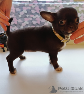Photo №2 to announcement № 8699 for the sale of chihuahua - buy in Russian Federation private announcement