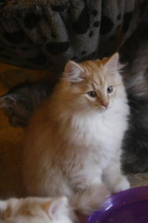 Photo №1. Mating service - breed: siberian cat. Price - 595$