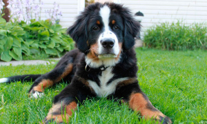 Photo №1. Mating service - breed: bernese mountain dog. Price - 100$
