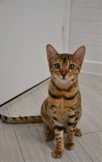Photo №1. bengal cat - for sale in the city of Minsk | 236$ | Announcement № 4869