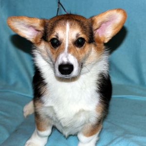 Photo №1. welsh corgi - for sale in the city of Moscow | 863$ | Announcement № 1534