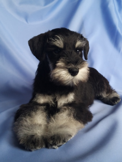 Photo №1. schnauzer - for sale in the city of Minsk | 543$ | Announcement № 5570