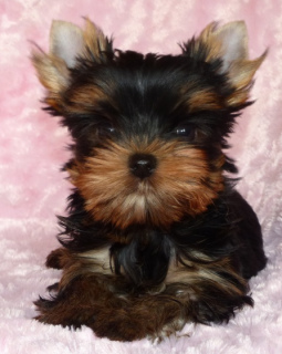 Photo №2 to announcement № 1094 for the sale of yorkshire terrier - buy in Germany private announcement, from nursery, breeder