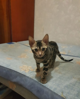 Photo №1. bengal cat - for sale in the city of Kiev | negotiated | Announcement № 1084