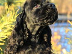 Photo №1. american cocker spaniel - for sale in the city of Dzerzhinsk | 200$ | Announcement № 798