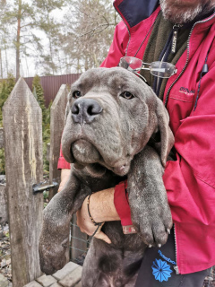 Photo №1. cane corso - for sale in the city of Bucha | 500$ | Announcement № 4875