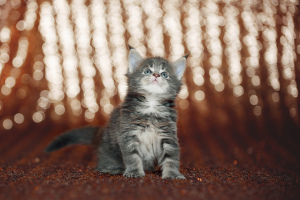 Photo №1. maine coon - for sale in the city of Mogilyov | 263$ | Announcement № 1923