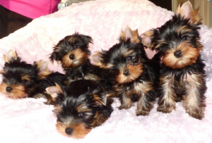 Photo №1. yorkshire terrier - for sale in the city of Berlin | 1345$ | Announcement № 1094
