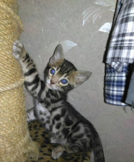 Photo №2 to announcement № 1084 for the sale of bengal cat - buy in Ukraine private announcement