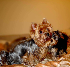 Photo №1. yorkshire terrier - for sale in the city of Czulice | 390$ | Announcement № 841