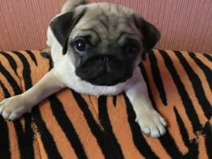 Photo №1. pug - for sale in the city of Minsk | 500$ | Announcement № 1177
