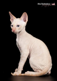 Photo №4. I will sell cornish rex in the city of Odintsovo. private announcement - price - 471$