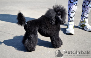 Photo №1. Mating service - breed: poodle (toy). Price - 389$