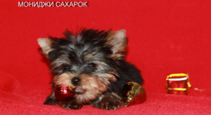 Photo №4. I will sell yorkshire terrier in the city of Yekaterinburg. breeder - price - 500$