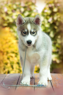 Photo №1. siberian husky - for sale in the city of Tolyatti | 195$ | Announcement № 2565