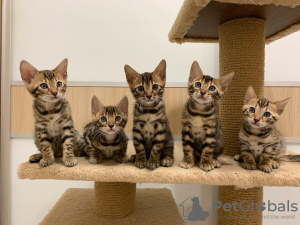 Photo №1. bengal cat - for sale in the city of Minsk | 352$ | Announcement № 8192