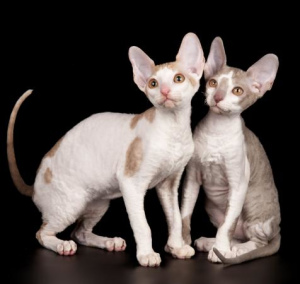 Photo №2 to announcement № 898 for the sale of cornish rex - buy in Russian Federation private announcement