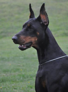 Photo №2 to announcement № 1128 for the sale of dobermann - buy in Russian Federation from nursery