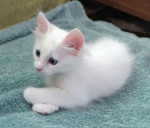 Photo №2 to announcement № 552 for the sale of turkish angora - buy in Belarus private announcement
