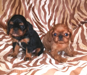 Photo №2 to announcement № 1549 for the sale of cavalier king charles spaniel - buy in Russian Federation private announcement