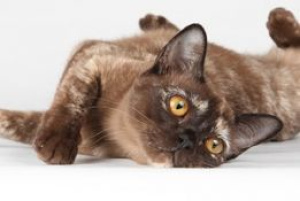 Photo №1. burmese cat - for sale in the city of St. Petersburg | 800$ | Announcement № 395