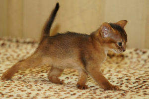 Photo №3. Kennel Santa Catarina * BY the experience of 13 years offers Abyssinian kittens. Belarus