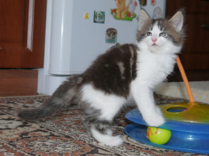 Photo №1. norwegian forest cat - for sale in the city of Novosibirsk | negotiated | Announcement № 1221