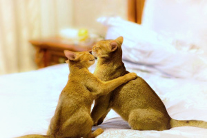 Photo №1. abyssinian cat - for sale in the city of Mogilyov | 542$ | Announcement № 815