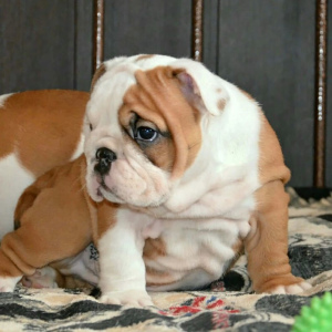 Photo №1. english bulldog - for sale in the city of Novorossiysk | 779$ | Announcement № 1468