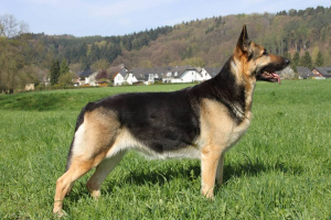 East-European Shepherd